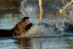 Fighting hippos. Two male hippopotamus fighting in a pool. Kruger National Park. South Africa stock images