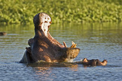 Fighting hippos Royalty Free Stock Photography