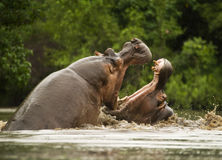 Fighting hippos. Two male hippos fighting in a Southern African park Royalty Free Stock Image