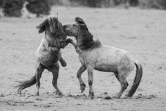 Fighting horses. In a dutch nature reserve royalty free stock photo