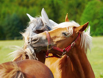 Fighting horses - or playing? Royalty Free Stock Images