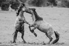 Fighting horses Royalty Free Stock Photos