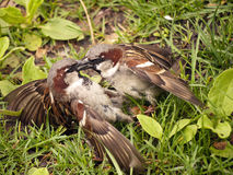 Fighting house sparrow Royalty Free Stock Image