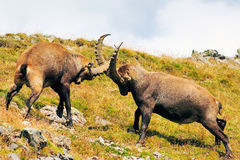 Fighting Ibex. Two male Ibexes fighting in the Vanoise National Park. France stock image