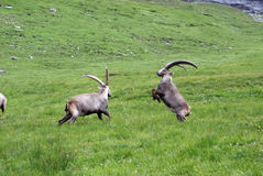 Fighting ibexes Stock Photo