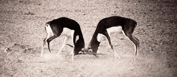 Fighting. This image was taken in Sir Bani Yas Island, Abu Dhabi Royalty Free Stock Images