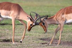Fighting Impala Antelope Royalty Free Stock Photo