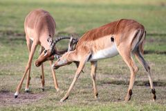 Fighting Impala Antelope Stock Images