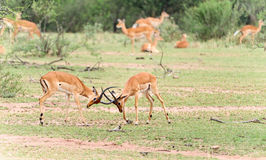 Fighting Impala Antelope Royalty Free Stock Images