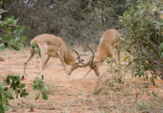Fighting impala males. Impala males (Aepyceros melampus) fighting in Tsavo national park (Kenya Stock Photo