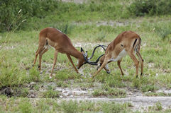 Fighting impalas. Two male Impalas fighting for a Female in the Serengeti National Park. Tanzania stock photo