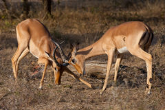 Fighting impalas. Two young impala rams play fighting Stock Photo