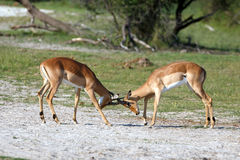 Fighting Impalas. In the Makgadikgadi Pans Nationalpark Stock Image