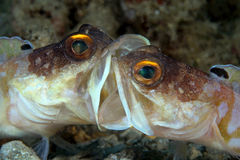 Fighting jawfish... Royalty Free Stock Photography