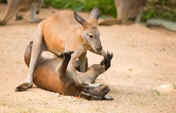 Fighting kangaroo Stock Images
