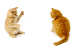 Fighting kittens. Sweet kittens are just about to fight on a white background Royalty Free Stock Images