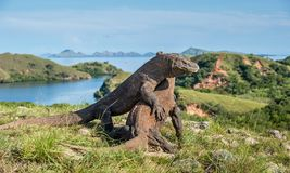 The Fighting of Komodo dragons. For domination. It is the biggest living lizard in the world. Island Rinca. Indonesia royalty free stock images