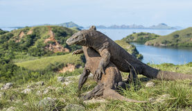 The fighting Komodo dragons for domination. Royalty Free Stock Photos