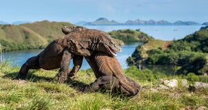The Fighting of Komodo dragons Royalty Free Stock Photography