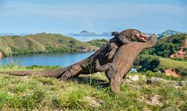 The Fighting of Komodo dragons Stock Photos