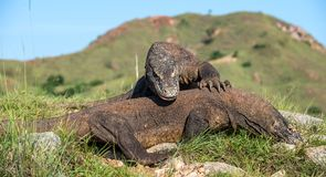 The Fighting of Komodo dragons Royalty Free Stock Photo