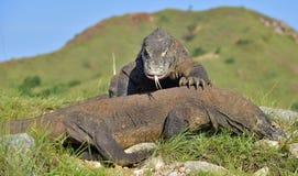The Fighting Komodo dragons royalty free stock image