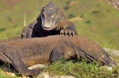 The Fighting Komodo dragons stock image