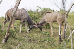 Fighting Kudus Royalty Free Stock Photography