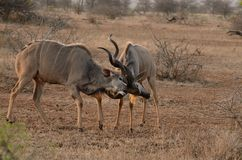 Fighting Kudus. These are two fighting kudus Royalty Free Stock Images