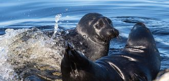 Free Fighting Ladoga Ringed Seals. Blue Water Background. Stock Images - 148879004