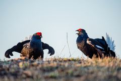 Fighting lekking Black Grouses. Birkhuhn, black grouse (Tetrao tetrix), blackgame (Lyrurus tetrix). Close up Portrait of a lekking Royalty Free Stock Photo