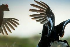 Fighting lekking Black Grouses. Sunrise Birkhuhn, black grouse (Tetrao tetrix), blackgame (Lyrurus tetrix). Stock Photos