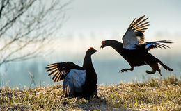 Fighting lekking Black Grouses. Sunrise Birkhuhn, black grouse (Tetrao tetrix), blackgame (Lyrurus tetrix). Royalty Free Stock Image