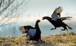 Fighting lekking Black Grouses. Sunrise Birkhuhn, black grouse (Tetrao tetrix), blackgame (Lyrurus tetrix). Royalty Free Stock Image