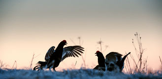 Fighting lekking Black Grouses Royalty Free Stock Images