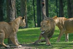 Fighting lions Stock Photos