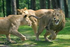 Fighting lions Royalty Free Stock Image