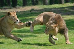 Fighting lions Stock Images