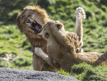 Fighting lions Royalty Free Stock Photo