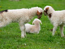 Fighting a little lamb stock photography