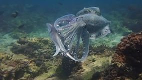Fighting and mating Pharaoh cuttlefish in Oman