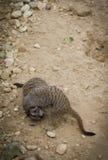 Fighting Meerkats Stock Photography