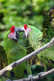 Fighting military macaws Royalty Free Stock Images