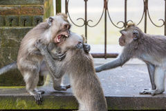 Fighting Monkeys stock photos