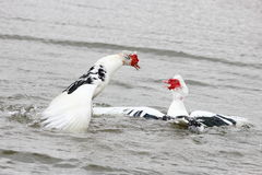 Fighting Muscovy Ducks Royalty Free Stock Photos