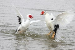 Fighting Muscovy Ducks Stock Photos