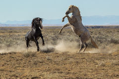 Fighting Mustangs. Two Wild Horses Sparring For Dominance, McCullough Peaks Wild Horse Herd Management Area, Wyoming Stock Photo