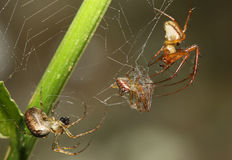 Fighting over Dinner. Two common garden orb weaving spiders fighting on a web over a third spider trapped and wrapped in silk royalty free stock photo