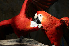 Fighting Parrots. A photo of two parrots royalty free stock image