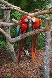 Fighting parrots at the Butterfly World, Florida Royalty Free Stock Photos